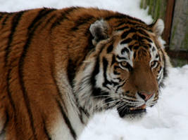 siberian tiger by annlo13