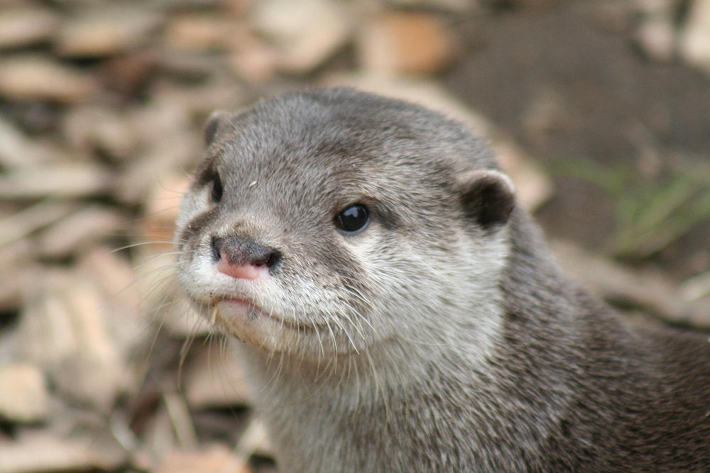 how to draw a sea otter face