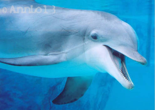 Bottlenose Dolphin Close Up
