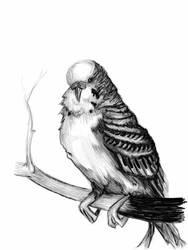 Parakeet-Black  White