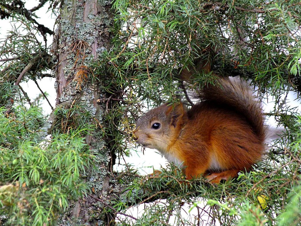 Baby Squirrel 2 by Heidileh