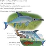 Dolphin needlefish