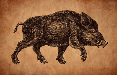 Boar drawing