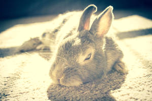 Bunny by ShahAkash