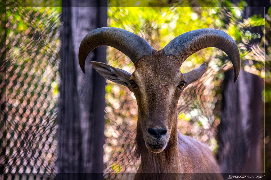 Mountain goat2 by NikaLim