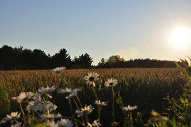 Daisy Field by copper9lives