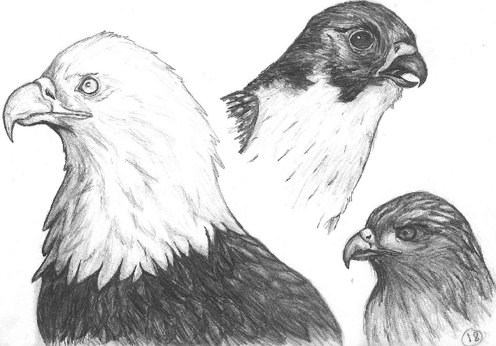 Pencil sketch birds of prey by khallawolf