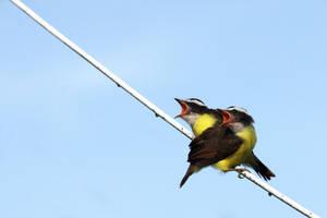Siamese Birds by SurinameBlogger