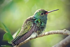 Kolibrie II by SurinameBlogger