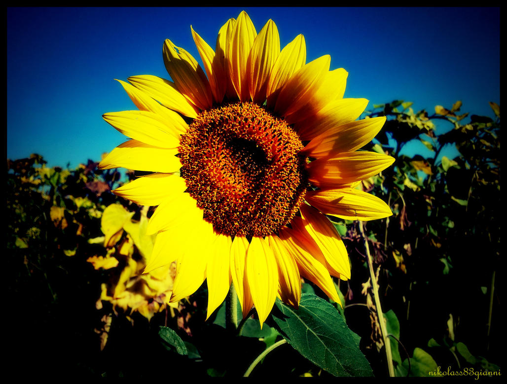 sunflower by nikolass by nikolass83gianni