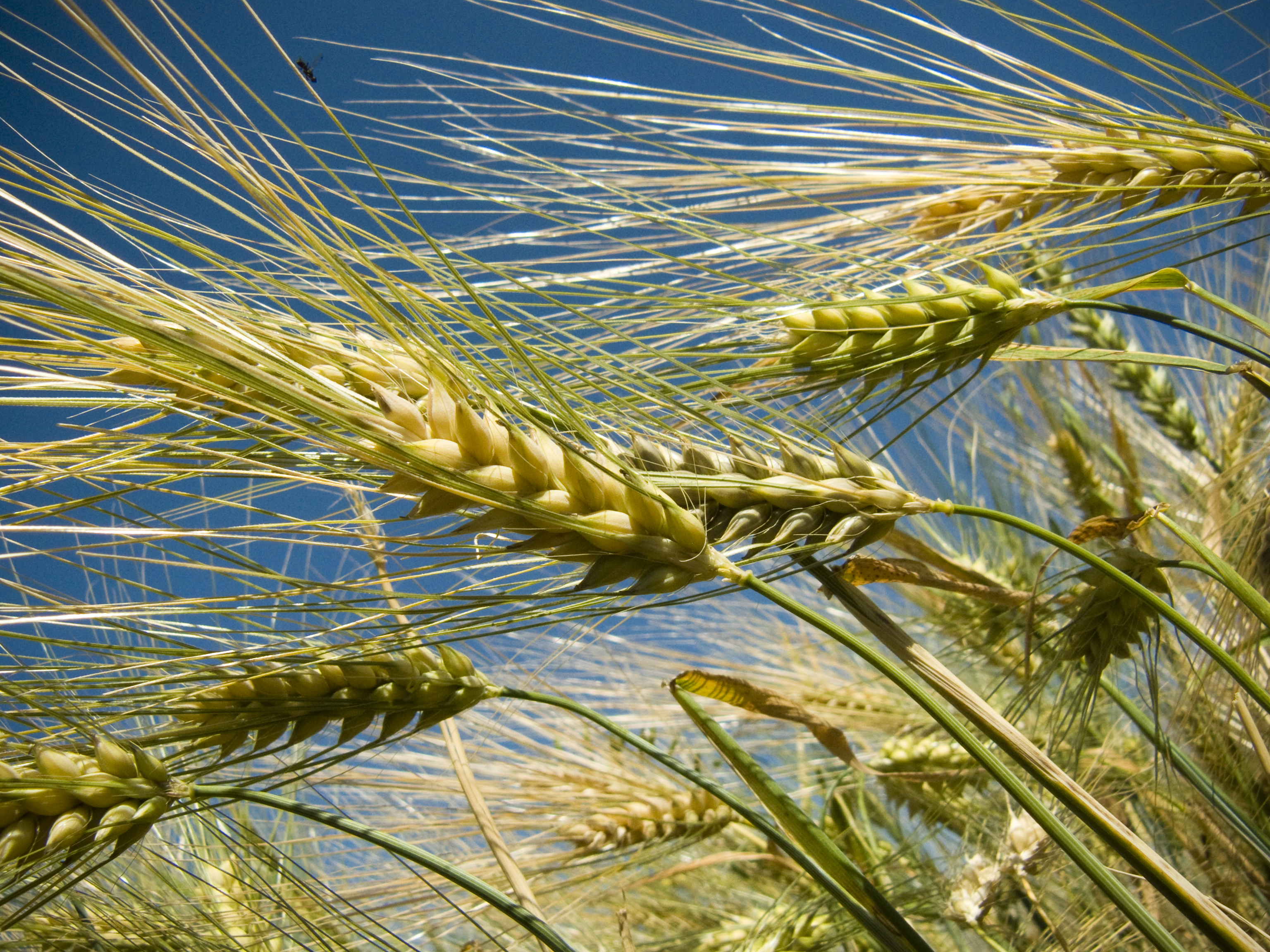 Barley by vendula-koublova