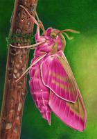 Elephant Hawk-moth by youngmoons