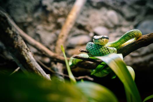 Sri Lankan Green Pitviper - 92976
