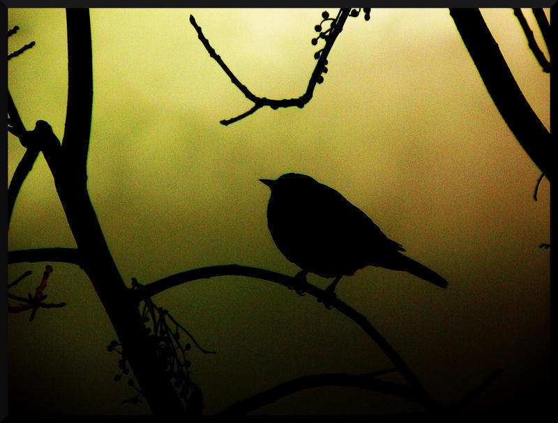 Blackbird by EllaryRose
