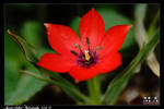 Red Mini Tulip 19 April by murato