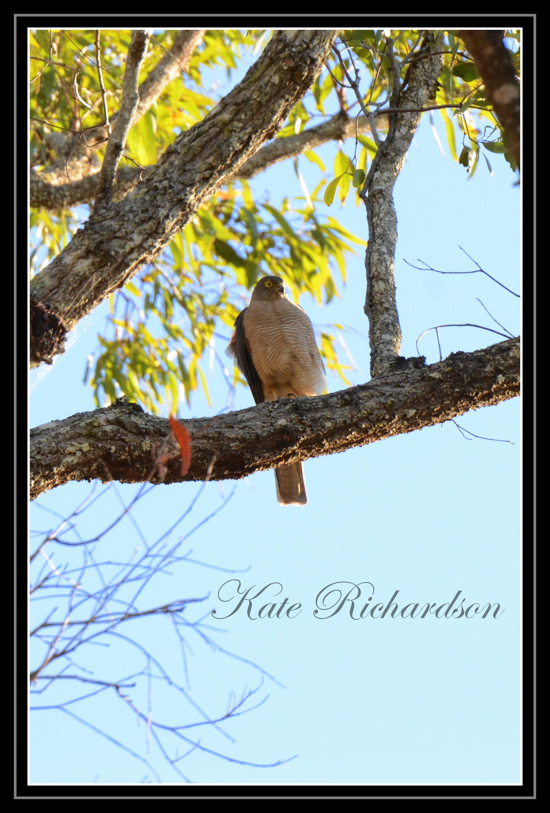 Collard sparrow hawk by DesignKReations