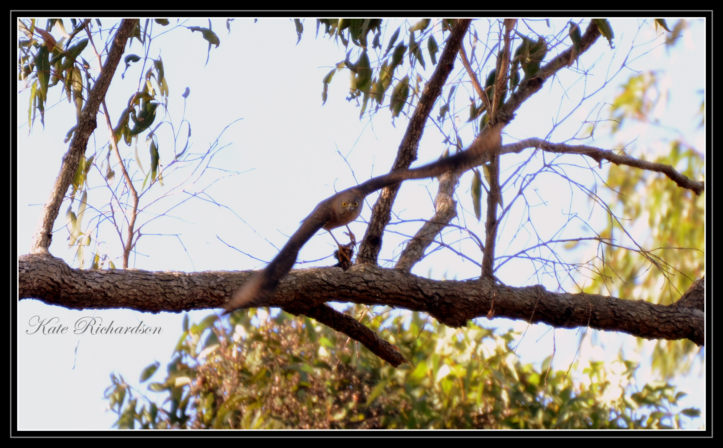 Collard sparrow hawk 2 by DesignKReations