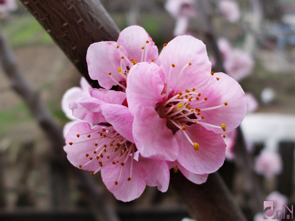 9 top Where To Buy Cherry Blossom Flowers Serpden