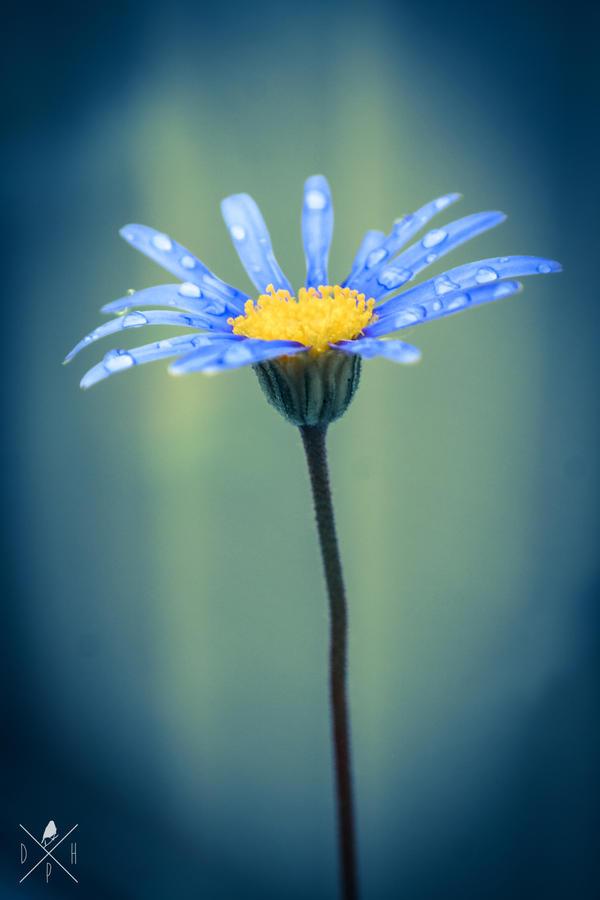 blue daisy. by DrewHarrison