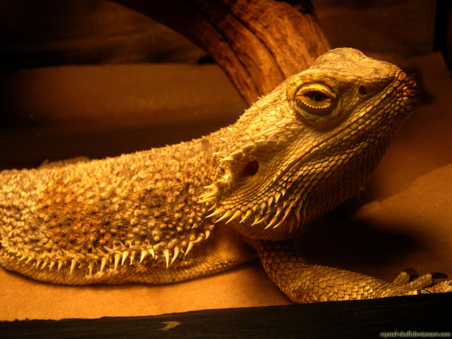 bearded dragon by Crystal-Skull