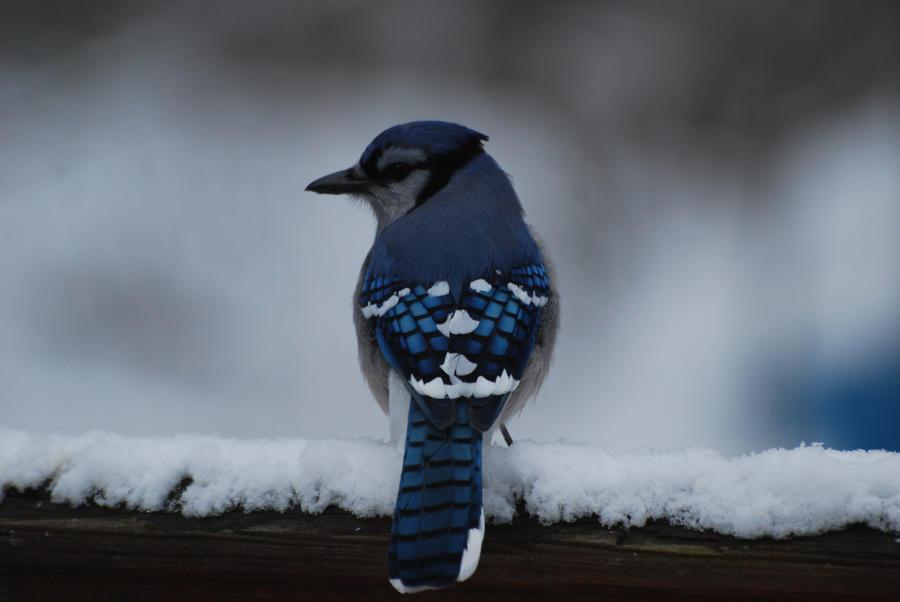 Blue Jay by SS-Snowy
