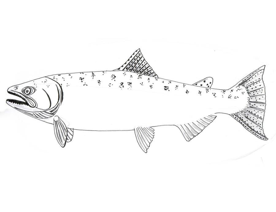 chinook salmon drawing