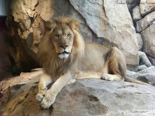 Lion : 04 by taeliac-stock