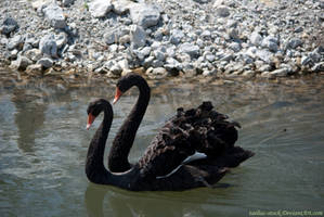 Black Swan : 12 by taeliac-stock
