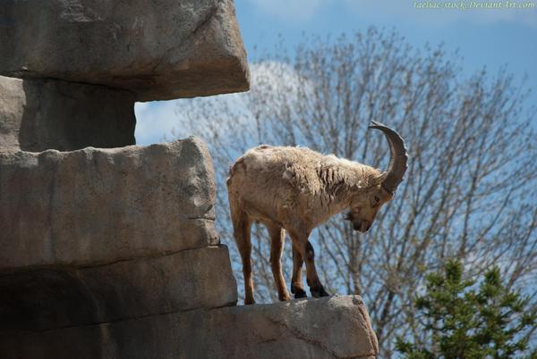 Mountain Goat : 03
