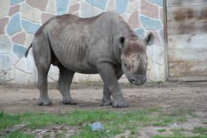 Rhino : 18 by taeliac-stock
