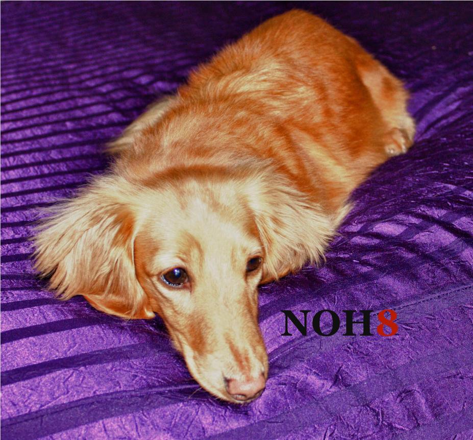 NOH8 Dachshund by organblower
