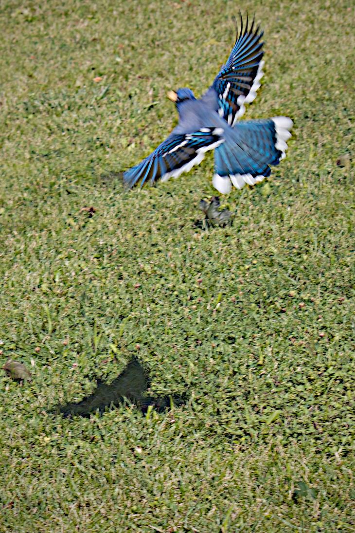 Bluejay in flight 016 by organblower