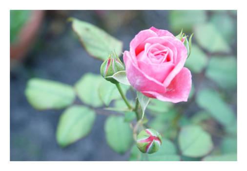 rosa rose 30.08.08