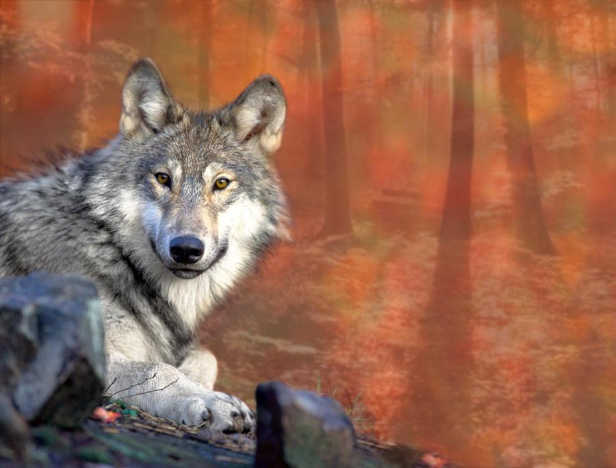 Autumn Wolf by Kaito42