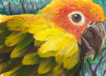 ACEO Sun conure by Phoeline