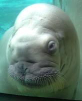 Walrus Love by SheddDolphin