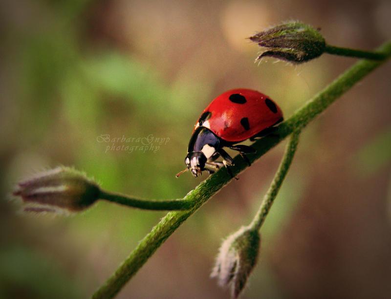 Summer Ladybug by xBarbaraG