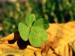 Four-leaf clover by xBarbaraG