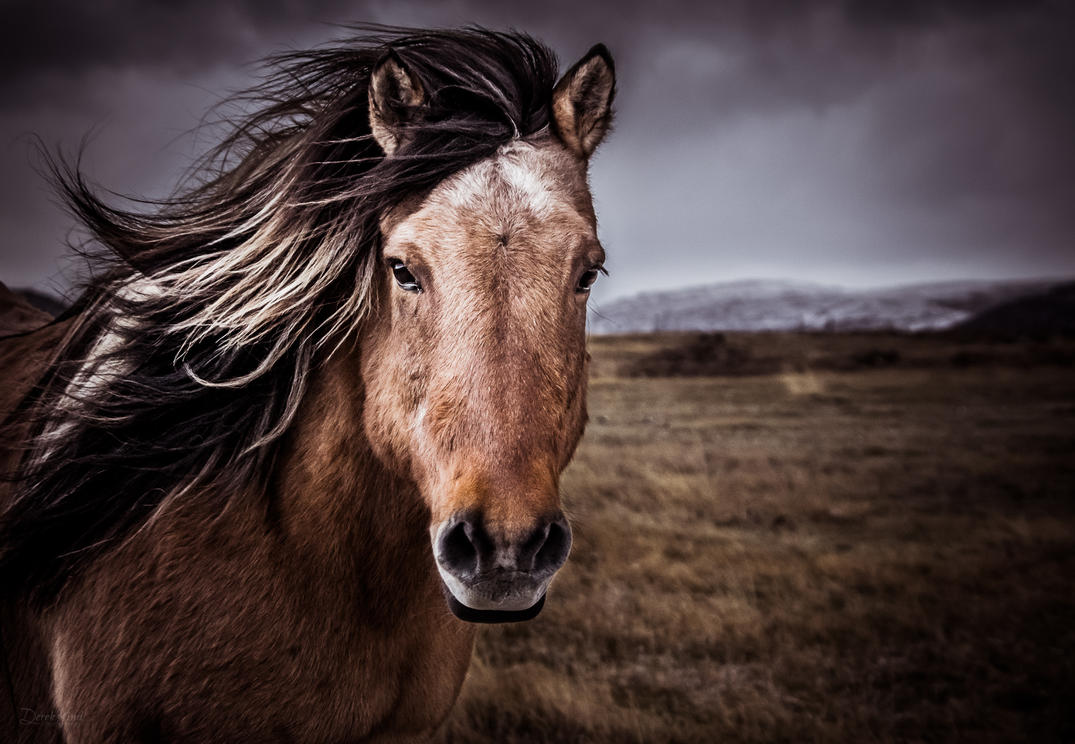 Portrait of an Icelandic Horse by derek-k