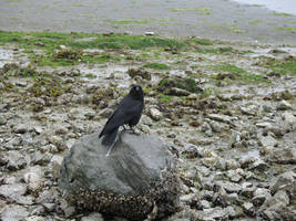 Crow on Rock 3 by solarka-stock