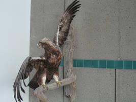 Eagle Wings by solarka-stock