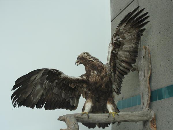 Eagle wings 2
