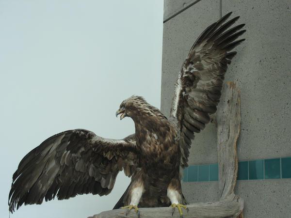 Eagle wings 3
