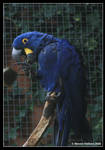 Hyacinth Macaw by Kernow-Photography