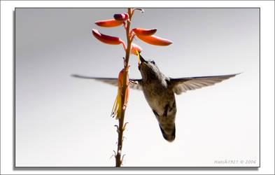 BGT 13 Hummingbird