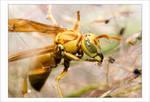 Yellow Wasp 2006