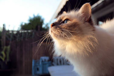 Cat looking in to the sunset.
