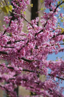 Pink tree blossoming stock #6 by croicroga