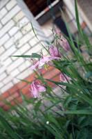 Aquilegia flower stock by croicroga