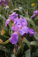 Fleur-de-lis flower stock #4 by croicroga